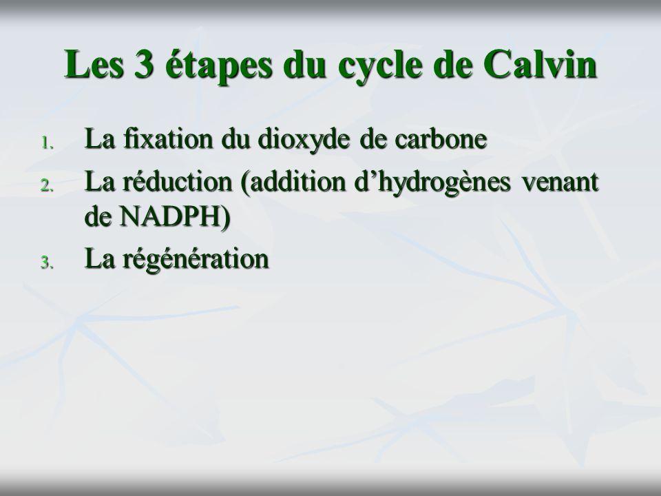 Les 3 étapes du cycle de Calvin