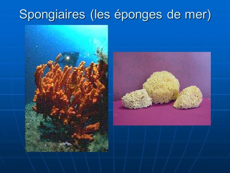 Spongiaires (les éponges de mer)