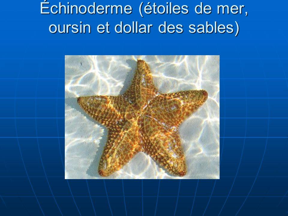 Échinoderme (étoiles de mer, oursin et dollar des sables)