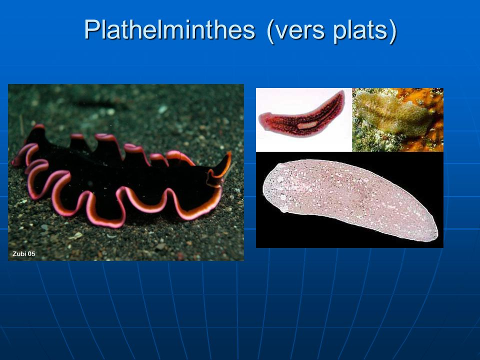 Plathelminthes (vers plats)