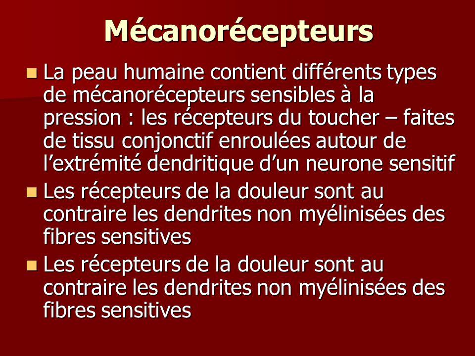 Mécanorécepteurs