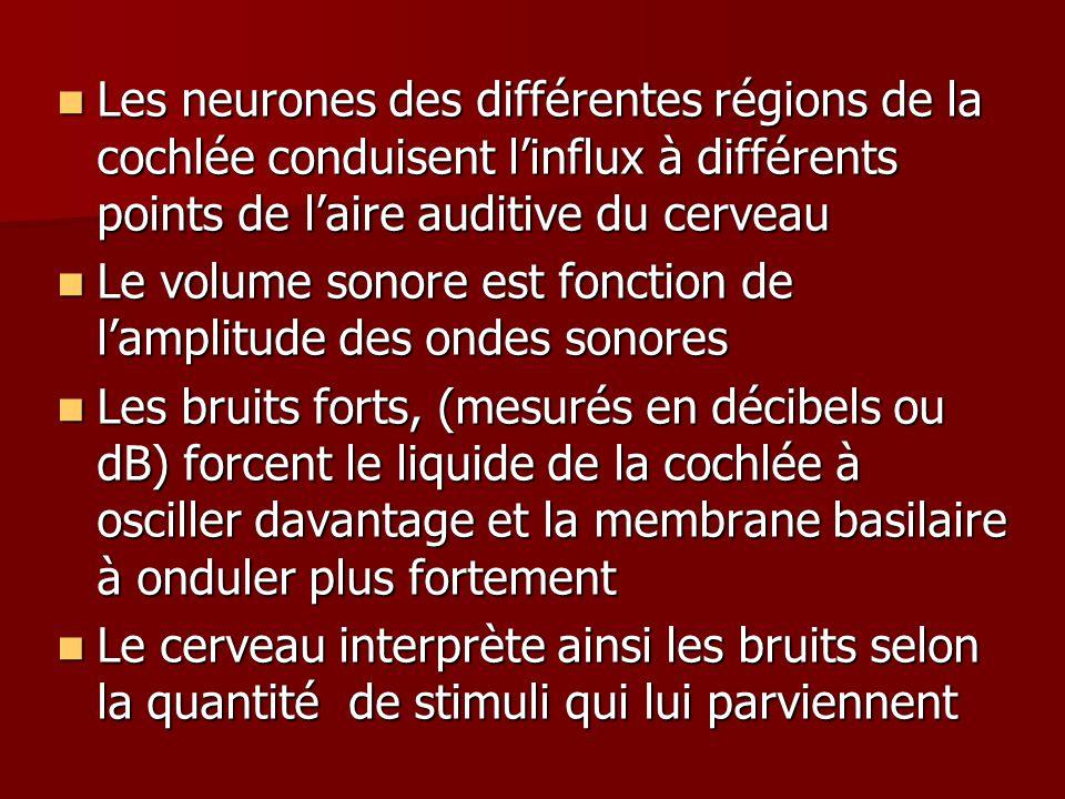 Les neurones des différentes régions de la cochlée conduisent l'influx à différents points de l'aire auditive du cerveau