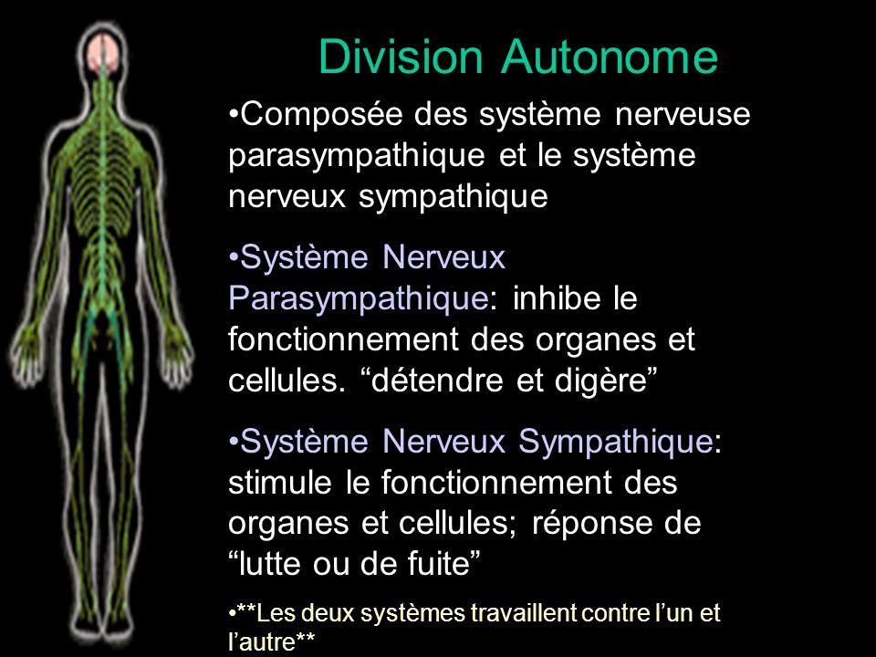 Division Autonome Composée des système nerveuse parasympathique et le système nerveux sympathique.