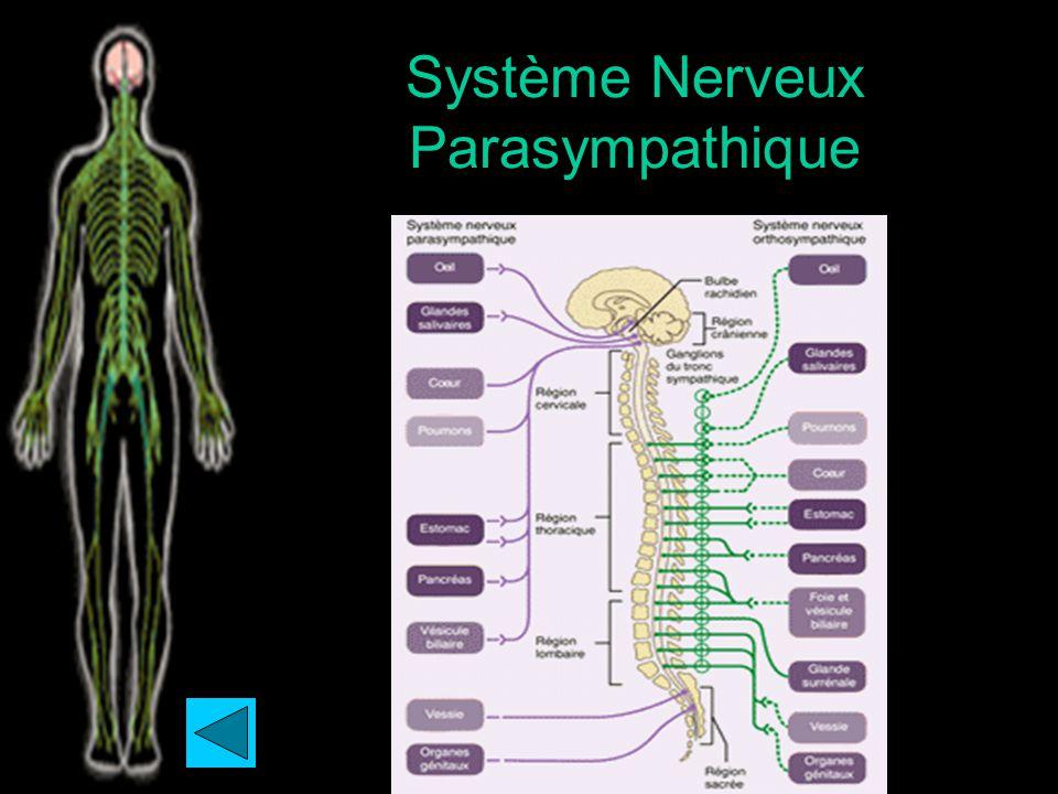 Système Nerveux Parasympathique