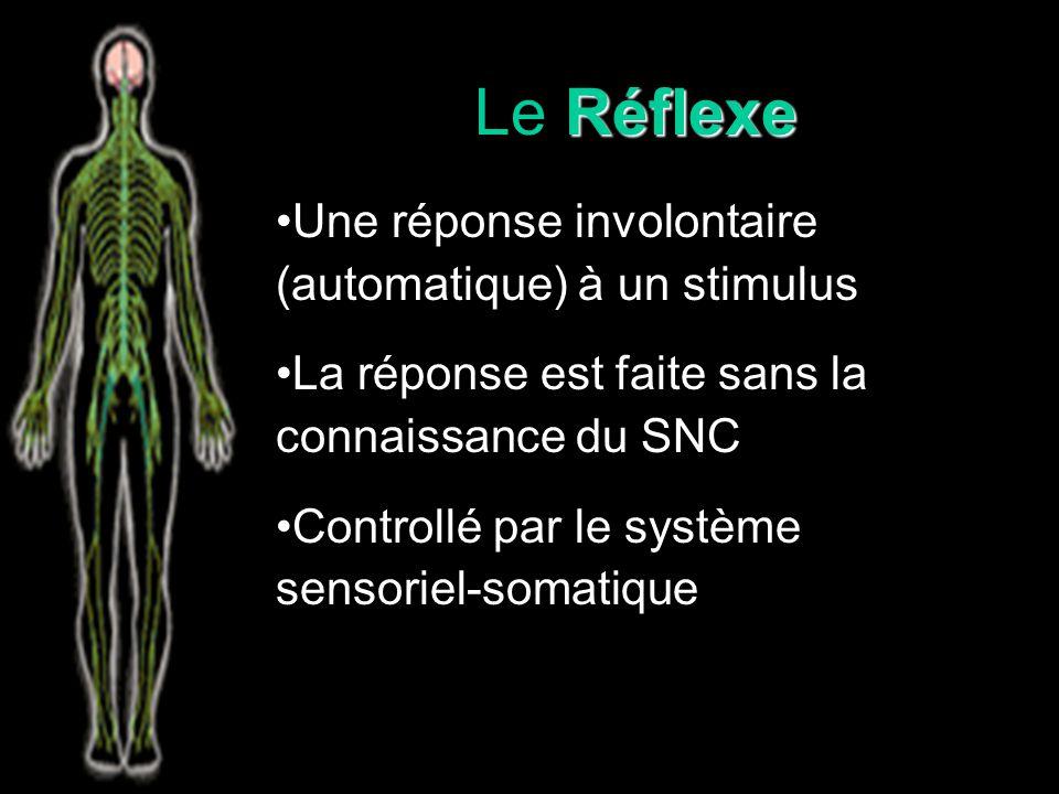 Le Réflexe Une réponse involontaire (automatique) à un stimulus