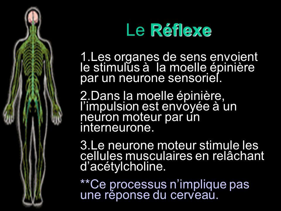Le Réflexe 1.Les organes de sens envoient le stimulus à la moelle épinière par un neurone sensoriel.