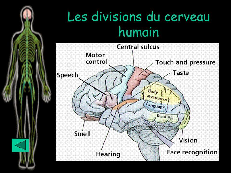 Les divisions du cerveau humain