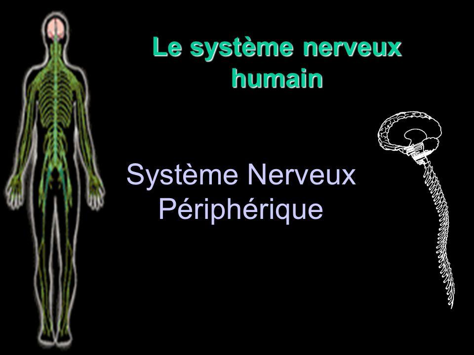 Le système nerveux humain