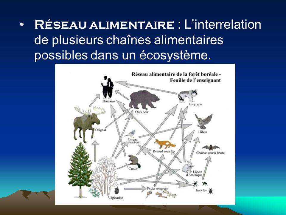 Réseau alimentaire : L'interrelation de plusieurs chaînes alimentaires possibles dans un écosystème.