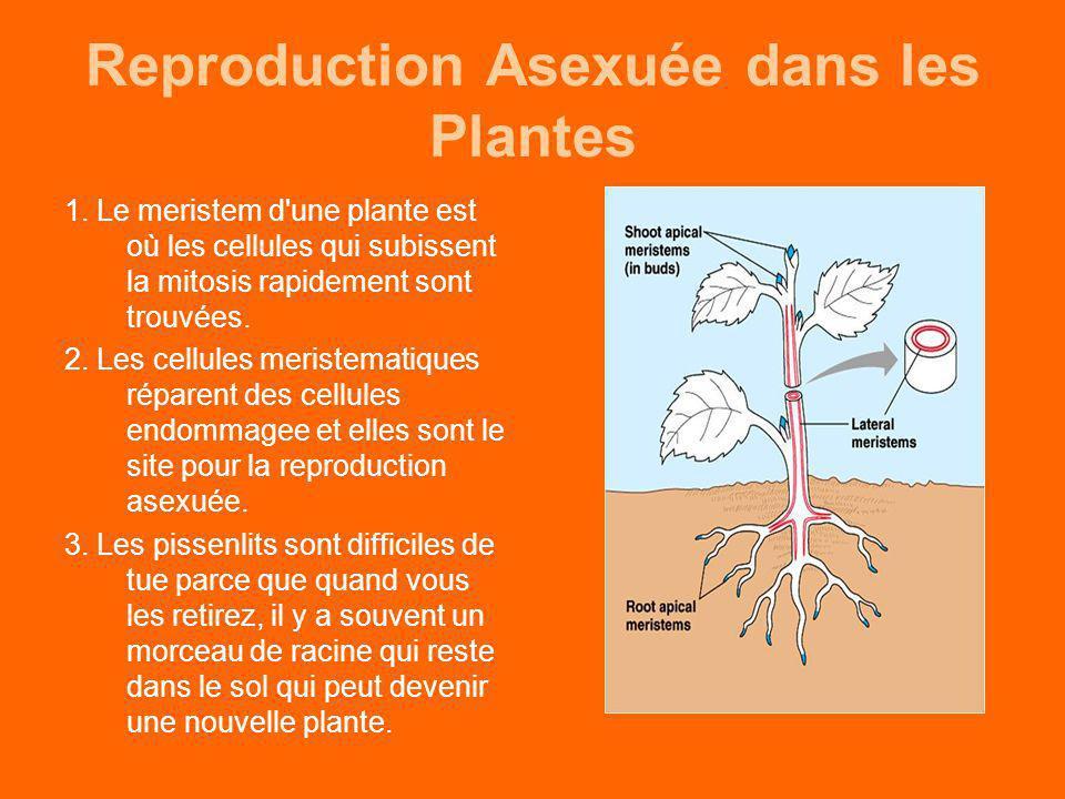 Reproduction Asexuée dans les Plantes
