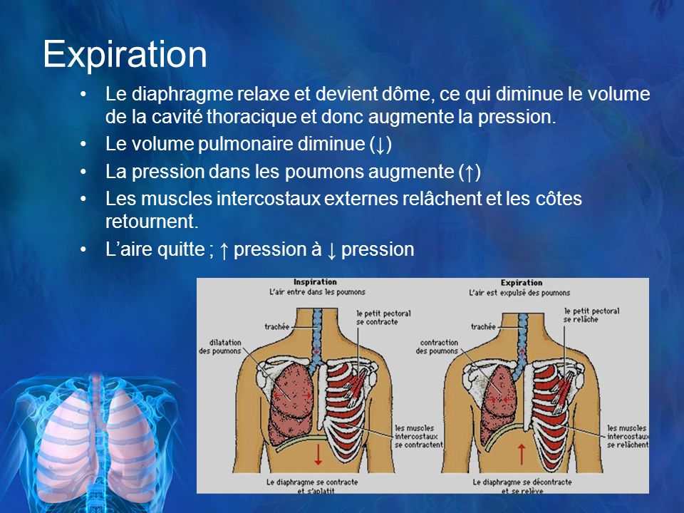 Expiration Le diaphragme relaxe et devient dôme, ce qui diminue le volume de la cavité thoracique et donc augmente la pression.