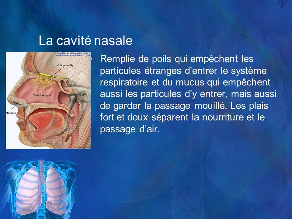 La cavité nasale