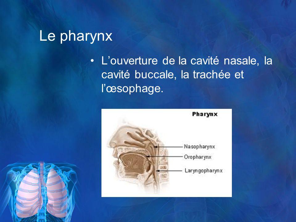 Le pharynx L'ouverture de la cavité nasale, la cavité buccale, la trachée et l'œsophage.
