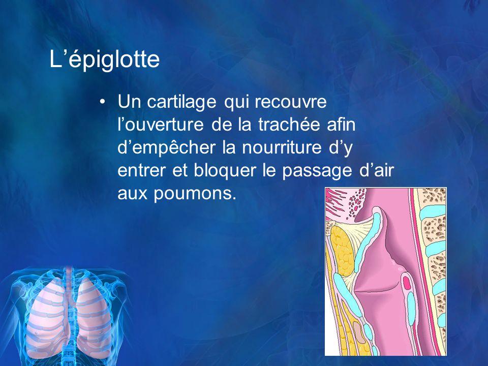 L'épiglotte Un cartilage qui recouvre l'ouverture de la trachée afin d'empêcher la nourriture d'y entrer et bloquer le passage d'air aux poumons.