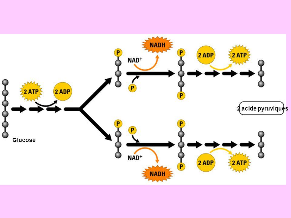 2 acide pyruviques Glucose