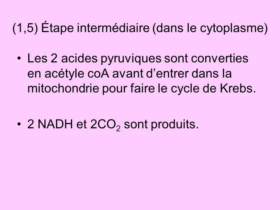 (1,5) Étape intermédiaire (dans le cytoplasme)