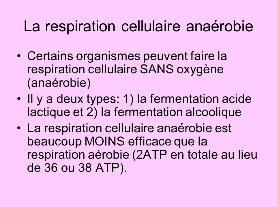 La respiration cellulaire anaérobie