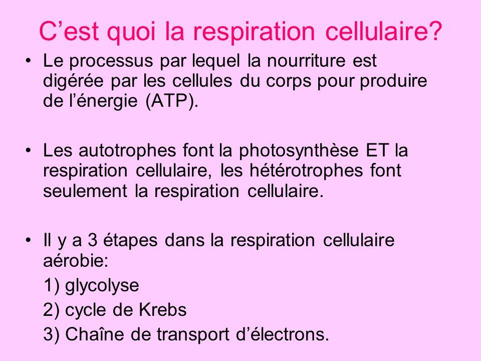 C'est quoi la respiration cellulaire