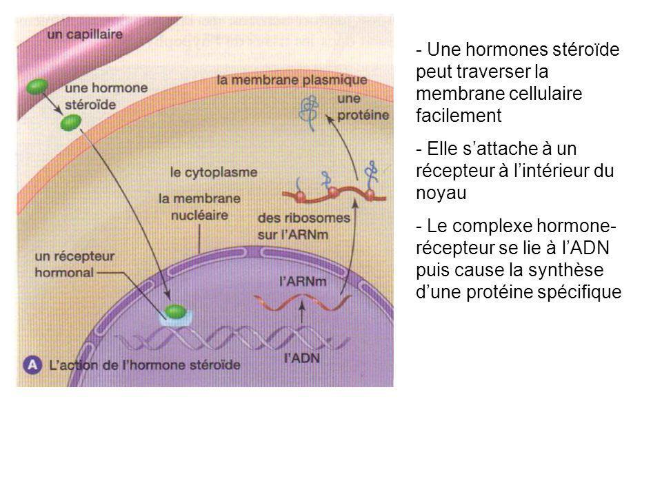 - Une hormones stéroïde peut traverser la membrane cellulaire facilement