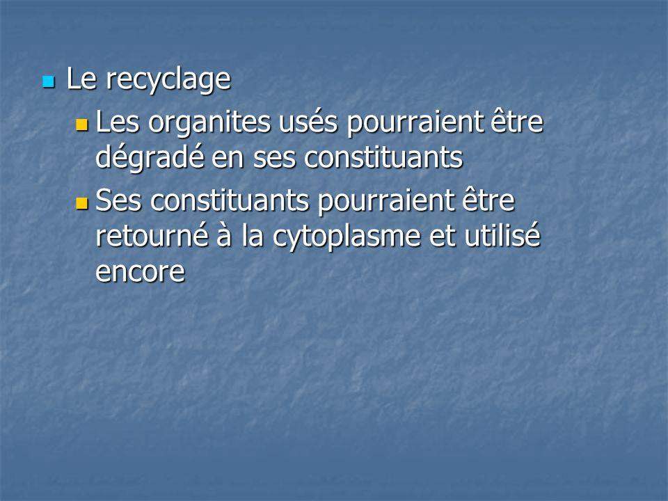 Le recyclage Les organites usés pourraient être dégradé en ses constituants.