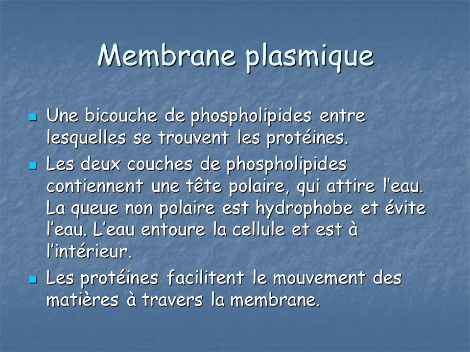 Membrane plasmique Une bicouche de phospholipides entre lesquelles se trouvent les protéines.