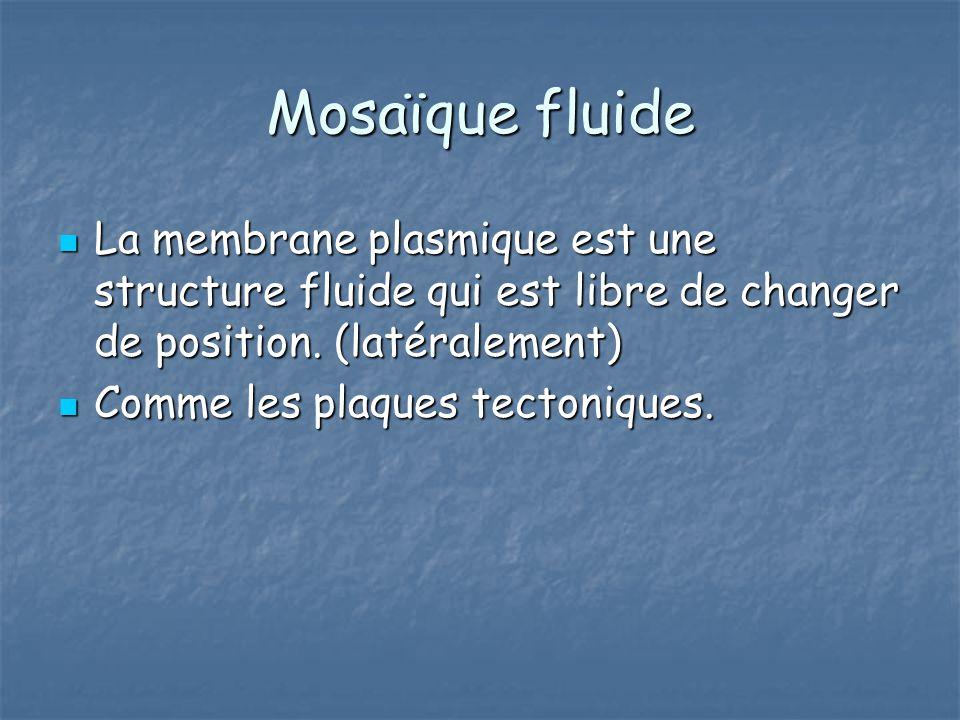 Mosaïque fluide La membrane plasmique est une structure fluide qui est libre de changer de position. (latéralement)