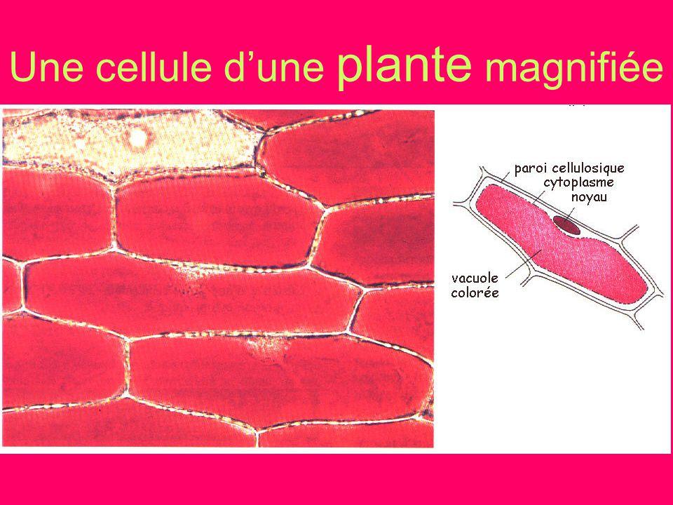 Une cellule d'une plante magnifiée