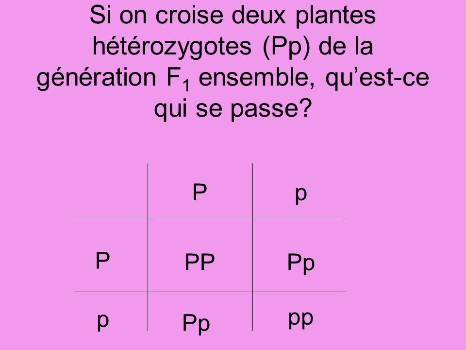 Si on croise deux plantes hétérozygotes (Pp) de la génération F1 ensemble, qu'est-ce qui se passe