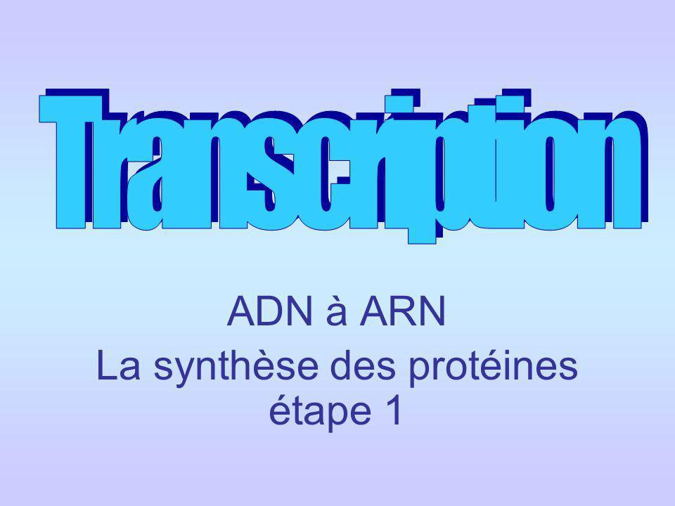 ADN à ARN La synthèse des protéines étape 1