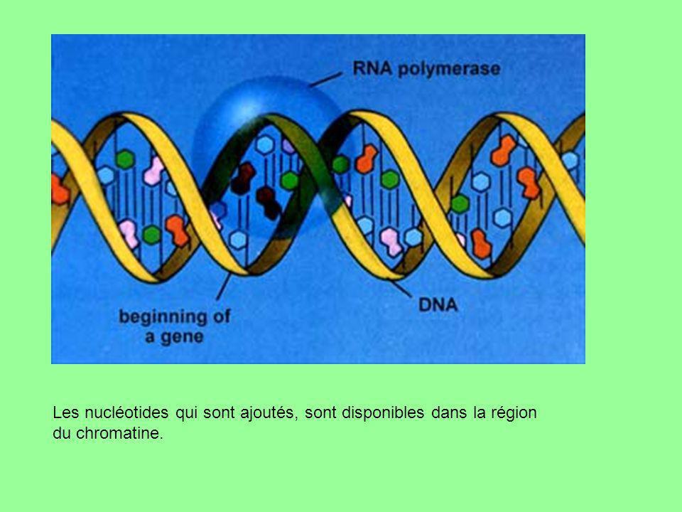 Les nucléotides qui sont ajoutés, sont disponibles dans la région du chromatine.