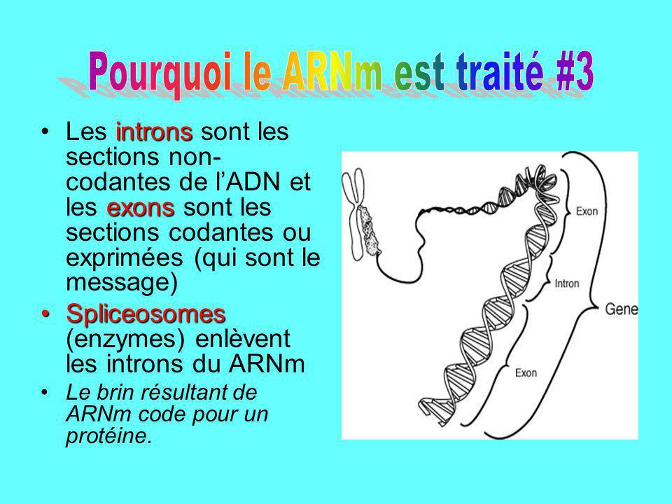 Pourquoi le ARNm est traité #3