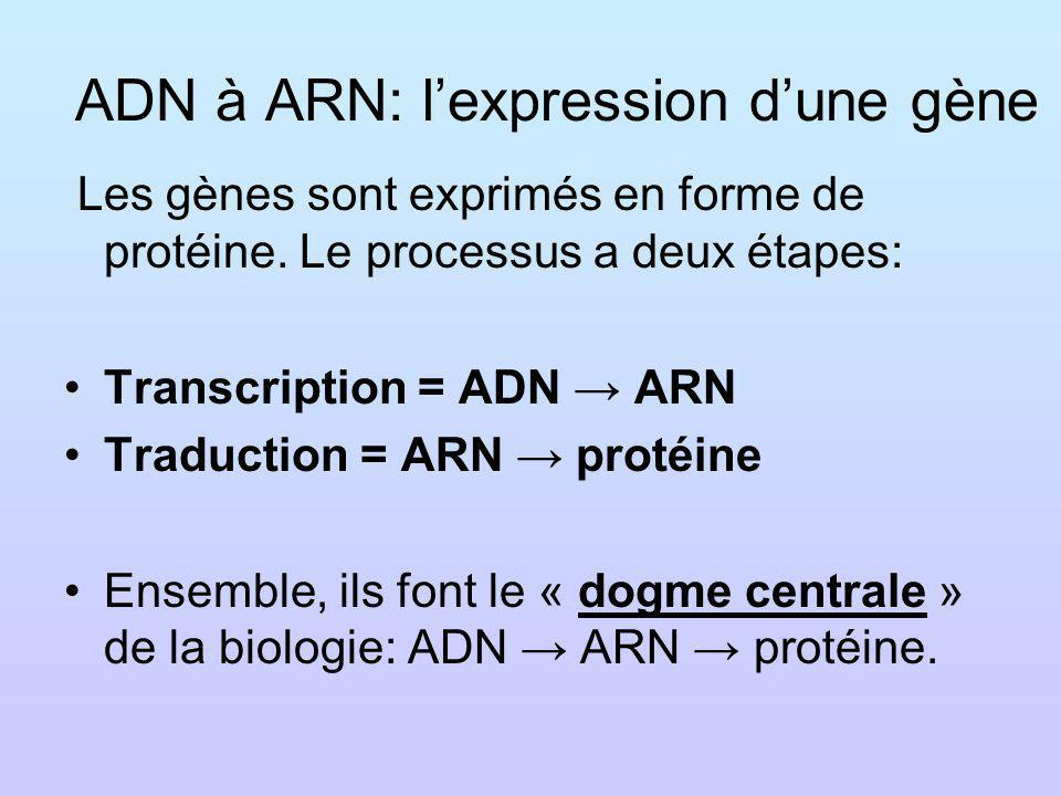 ADN à ARN: l'expression d'une gène