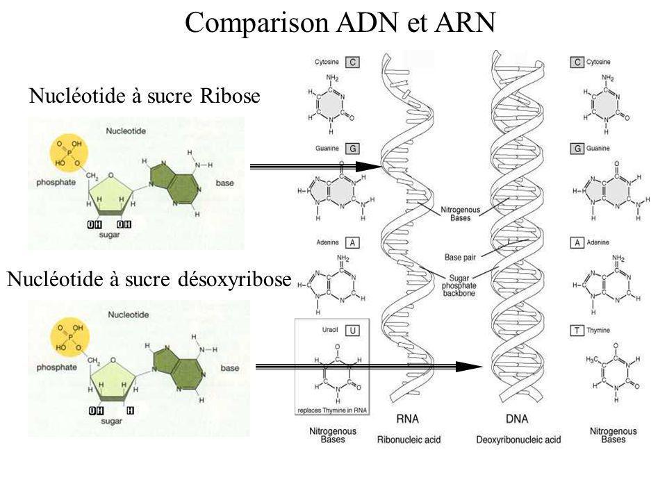 Comparison ADN et ARN Nucléotide à sucre Ribose