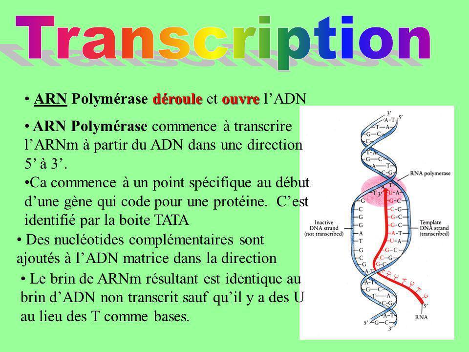 Transcription ARN Polymérase déroule et ouvre l'ADN
