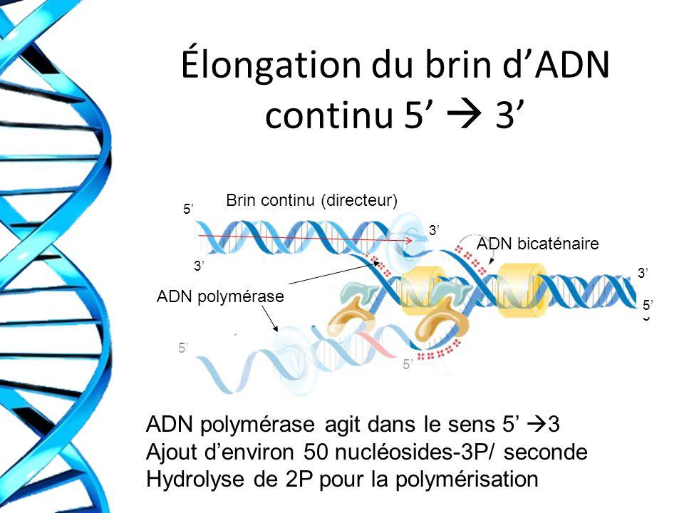 Élongation du brin d'ADN continu 5'  3'