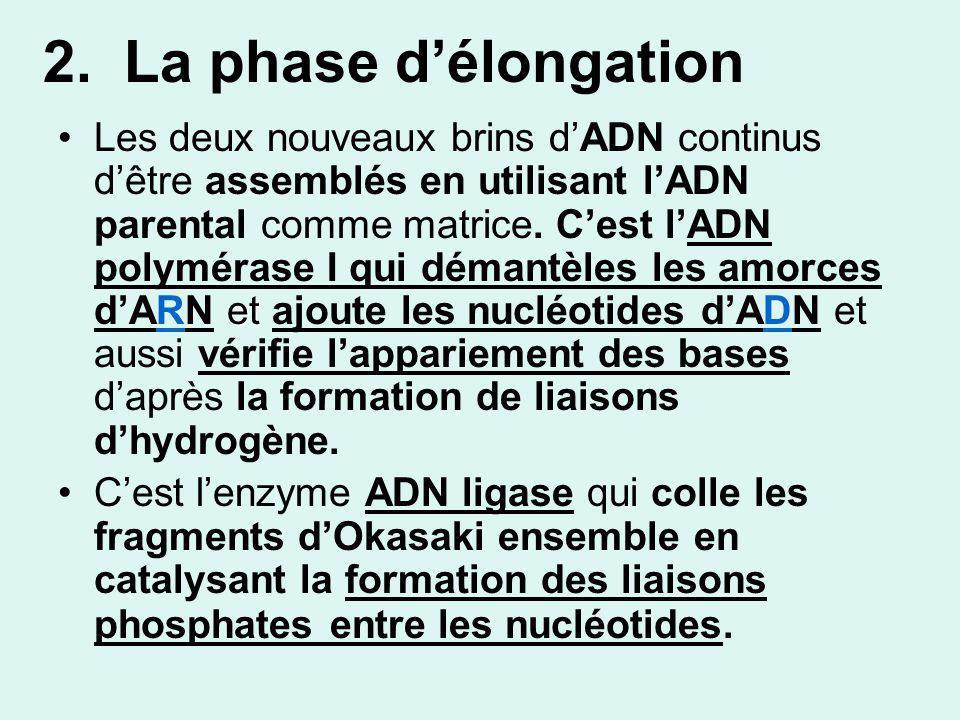 2. La phase d'élongation