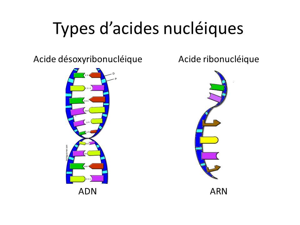 Types d'acides nucléiques