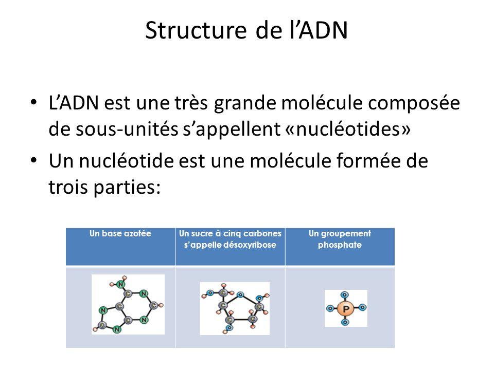 Structure de l'ADN L'ADN est une très grande molécule composée de sous-unités s'appellent «nucléotides»