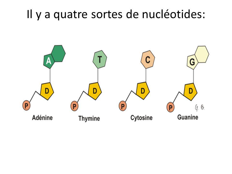 Il y a quatre sortes de nucléotides: