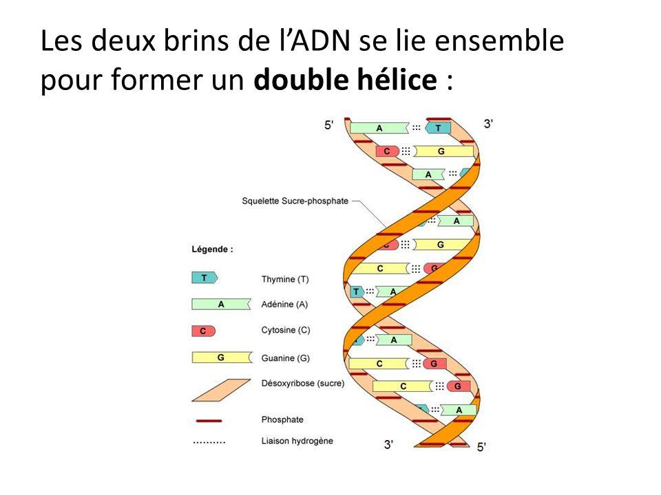 Les deux brins de l'ADN se lie ensemble pour former un double hélice :