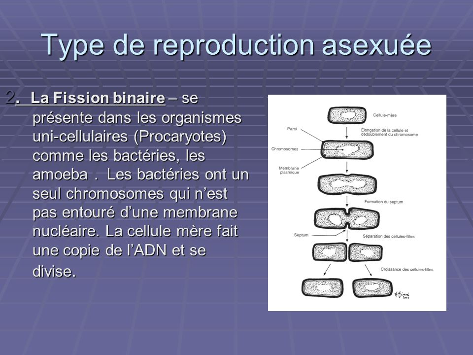 Type de reproduction asexuée