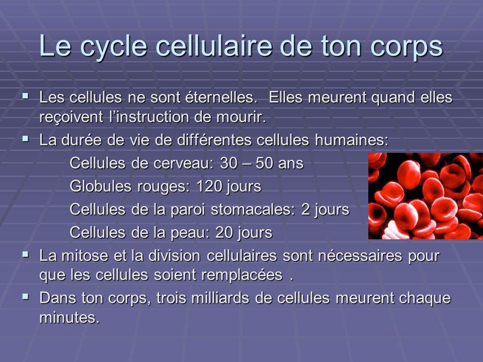 Le cycle cellulaire de ton corps