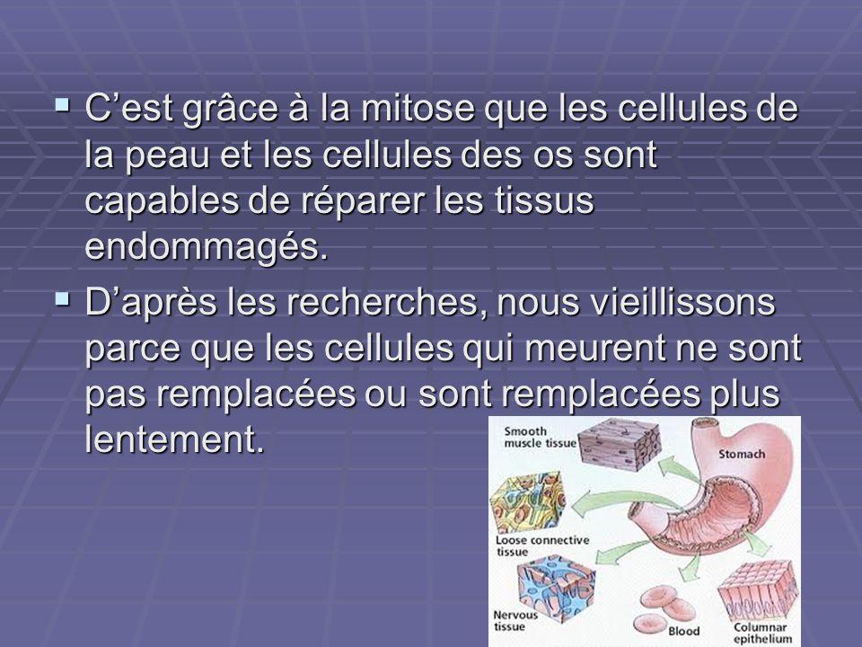 C'est grâce à la mitose que les cellules de la peau et les cellules des os sont capables de réparer les tissus endommagés.