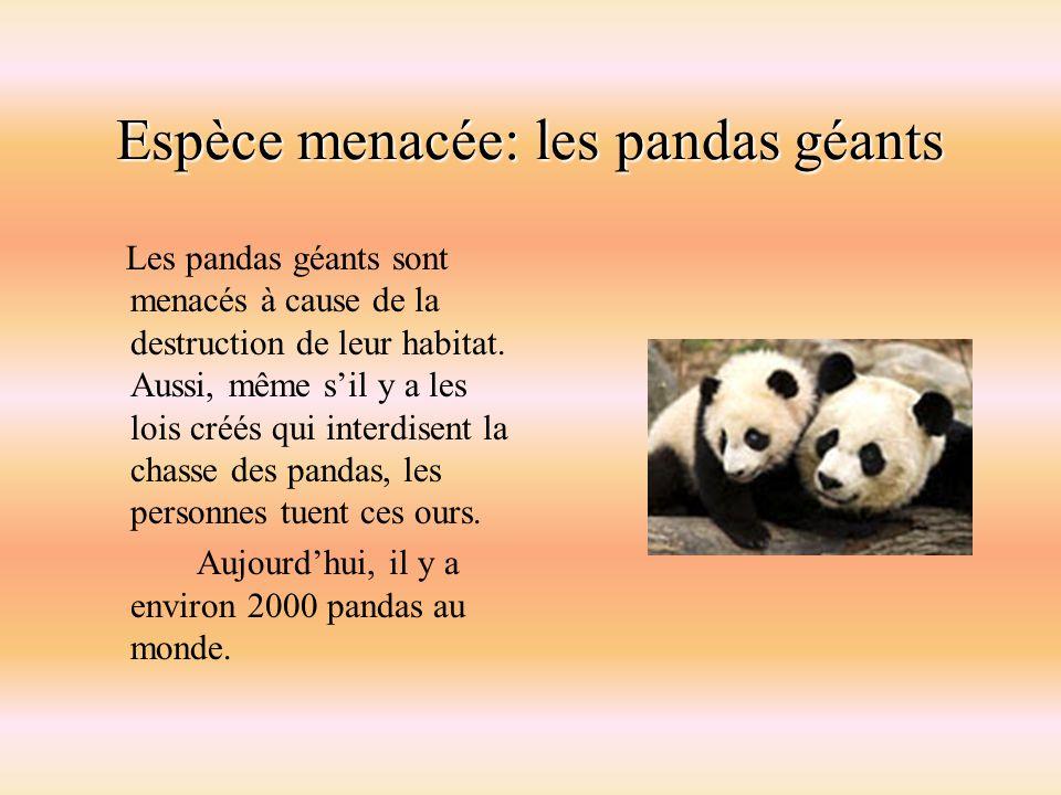 Espèce menacée: les pandas géants