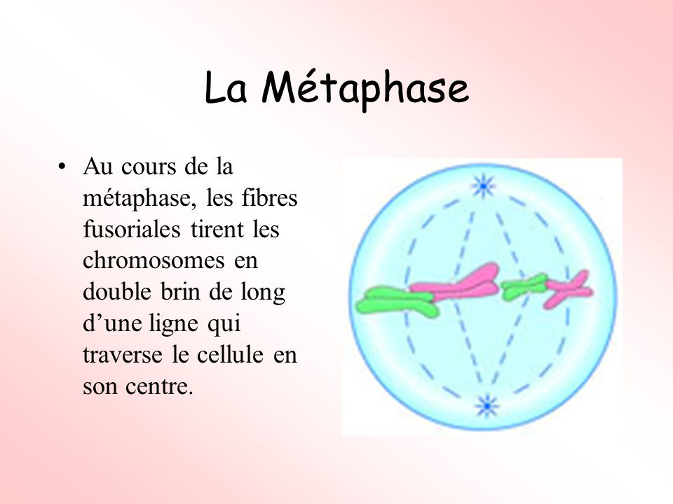 La Métaphase