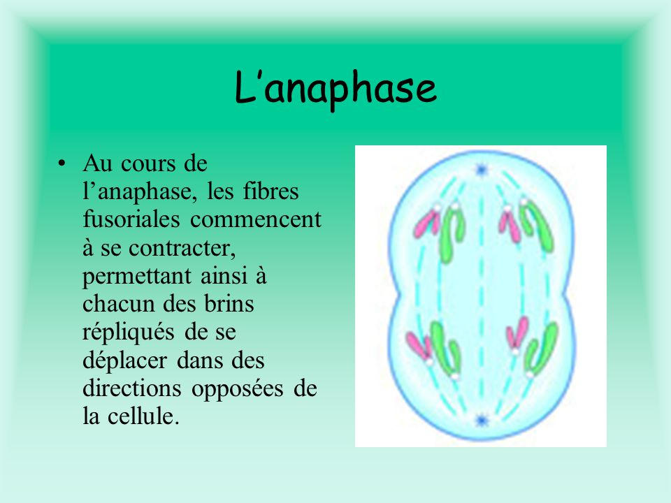 L'anaphase