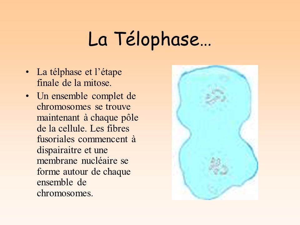 La Télophase… La télphase et l'étape finale de la mitose.