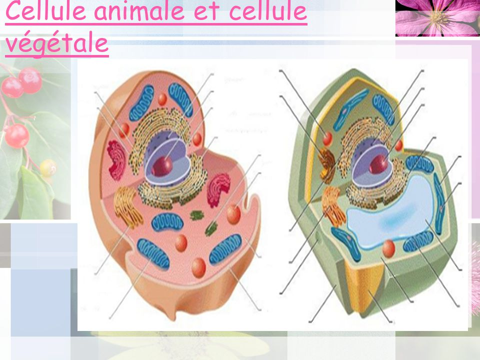 Cellule animale et cellule végétale
