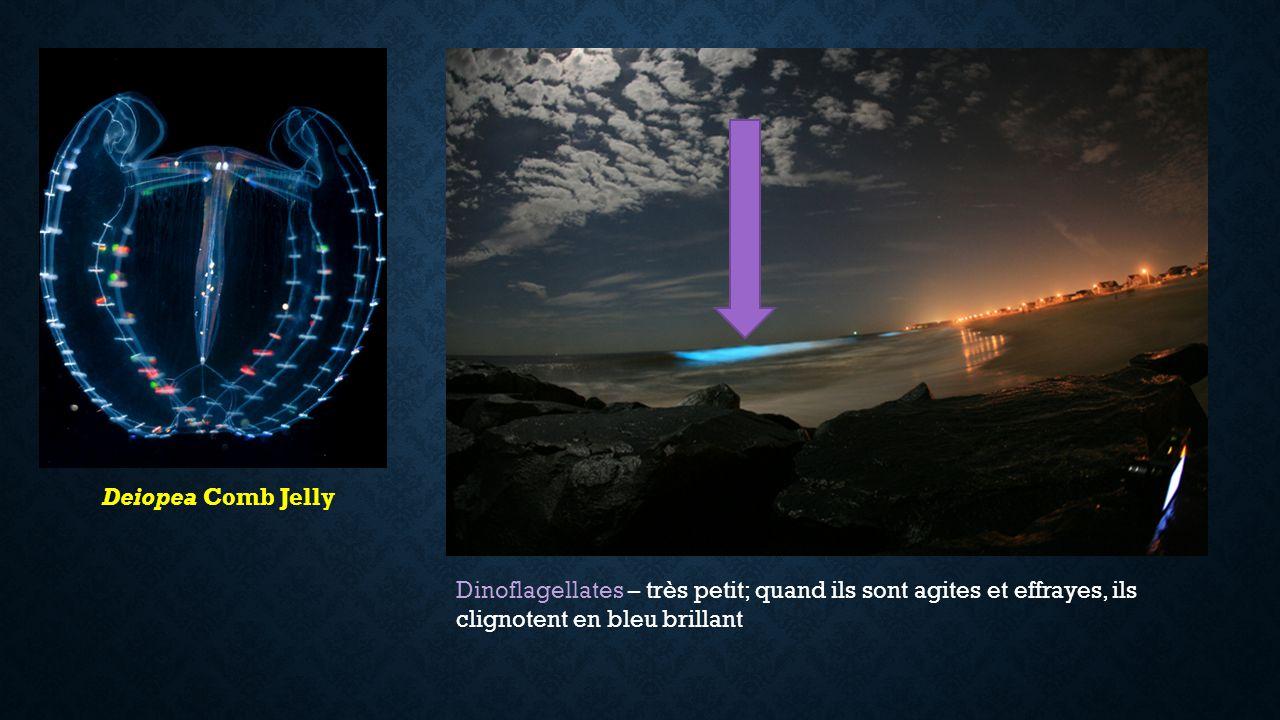 Deiopea Comb Jelly Dinoflagellates – très petit; quand ils sont agites et effrayes, ils clignotent en bleu brillant.