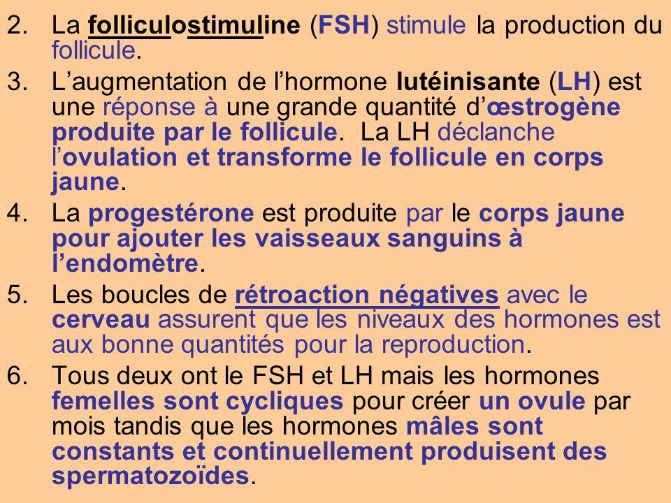 La folliculostimuline (FSH) stimule la production du follicule.